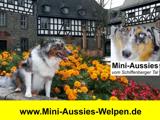Mini Aussies Welpen